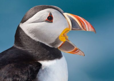 Portrait of a Puffin by John Coveney