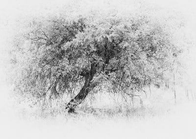 White Tree by Olive Gaughan