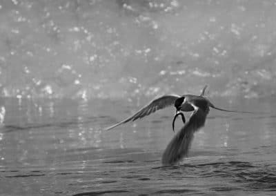 Artic Tern by Richard Boyle