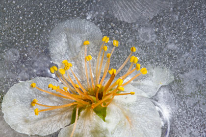 WWM May 2015 – Flowers in Ice