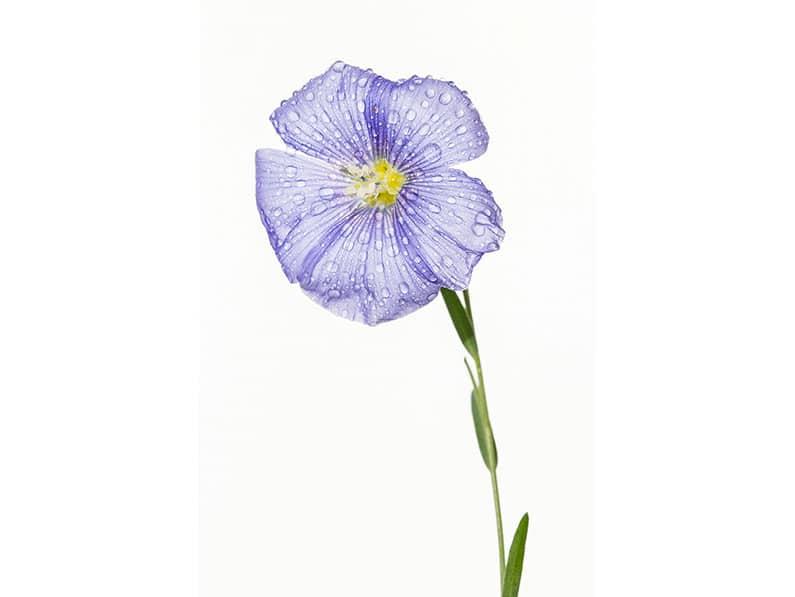 10. Debbie McHugh – Blue Flax