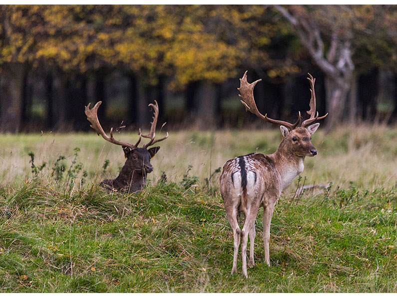 Resting not Rutting by Colin Ball