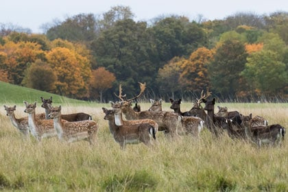 Club Outing – Deer Rut in Phoenix Park