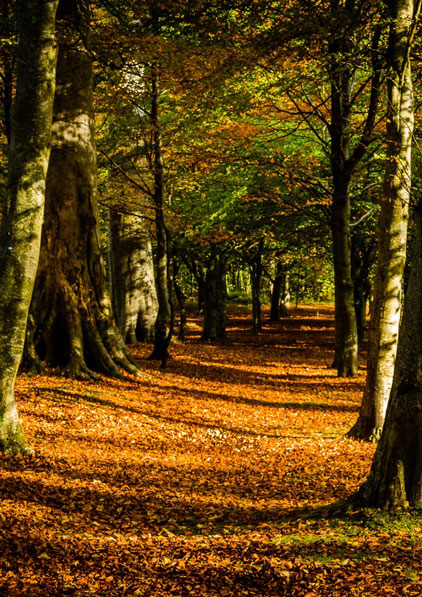 Leafy carpet through the trees by George Balmer