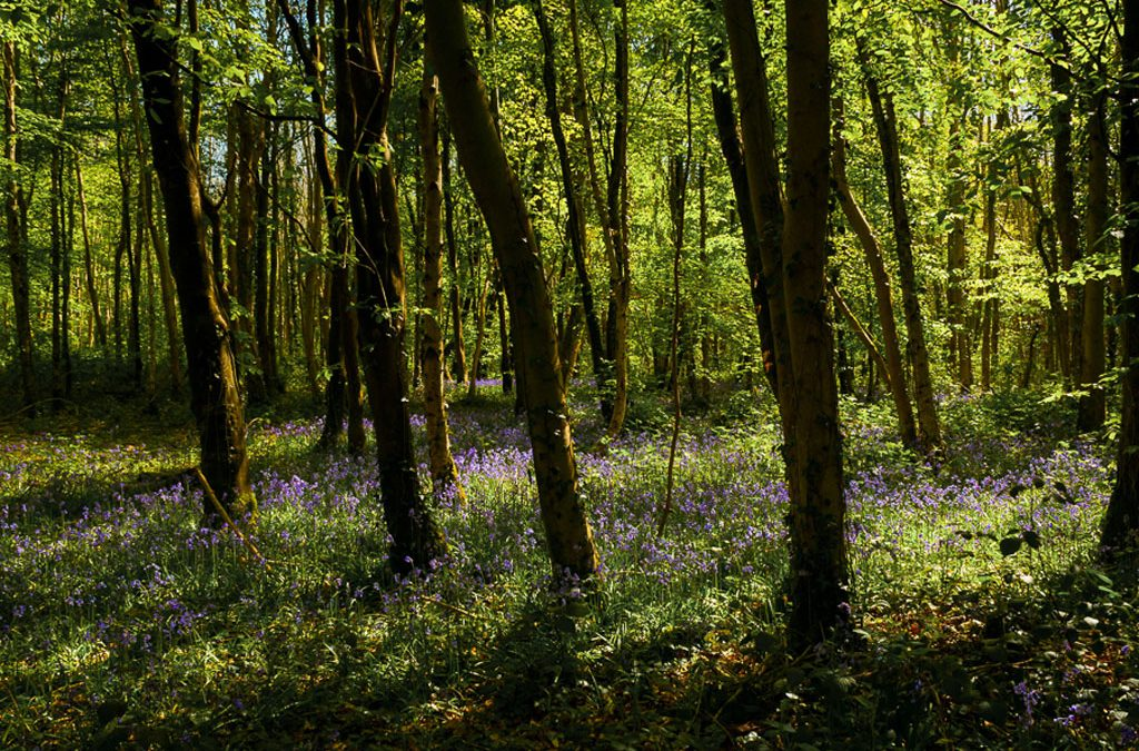 Club Outing – Bluebells in Killinthomas Wood