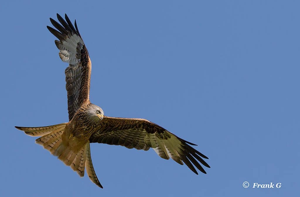 Club Outing – Red Kites in Wales