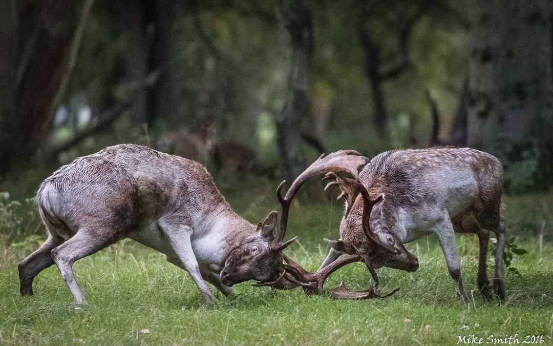 Club Outing – Deer Rut at Phoenix Park
