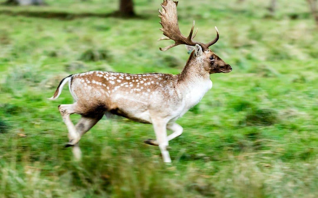 Club Outing – Deer Rutting in Phoenix Park