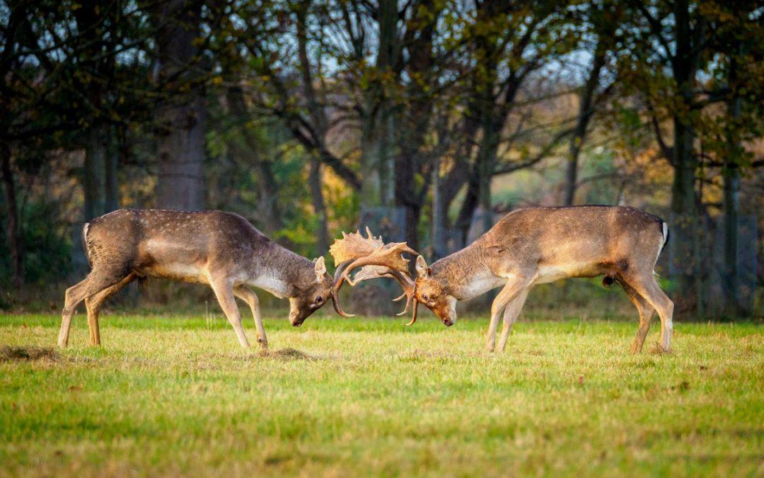 Club Outing – Deer Rut, Phoenix Park