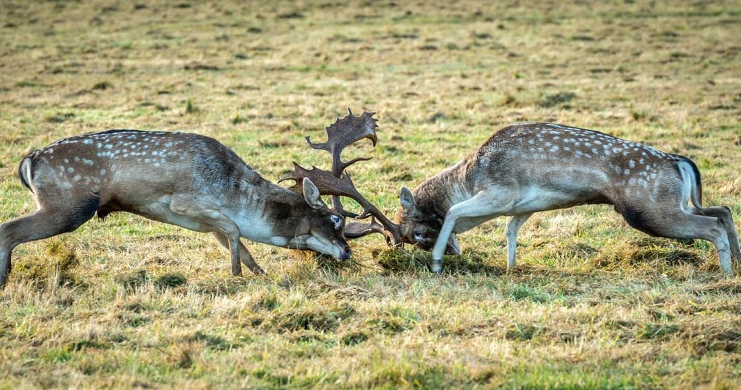 Club Outing – Phoenix Park Deer Rut