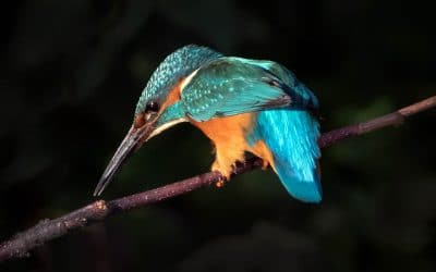 Club Outing – Kingfisher on the Dodder